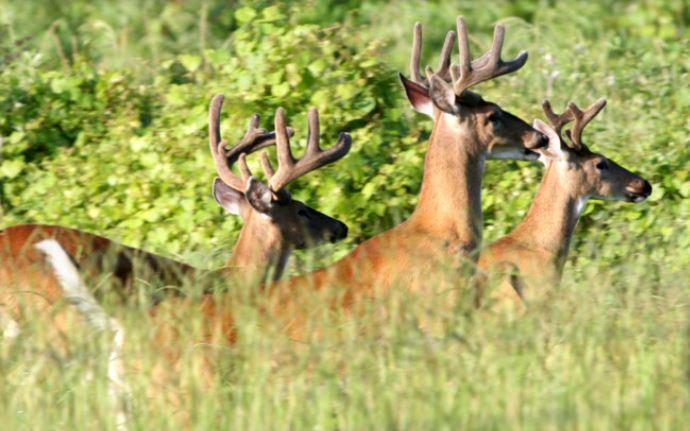 deer hunting, ocala news, ocala post, hunting