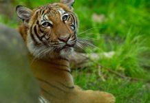 covid-19, tiger tests positive, ocala news, bronx zoo, ocala post