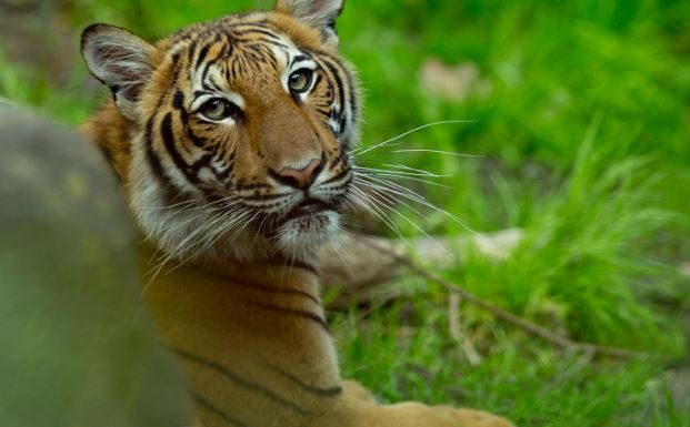 covid-19, tiger tests positive, ocala news, bronx zoo, ocala post