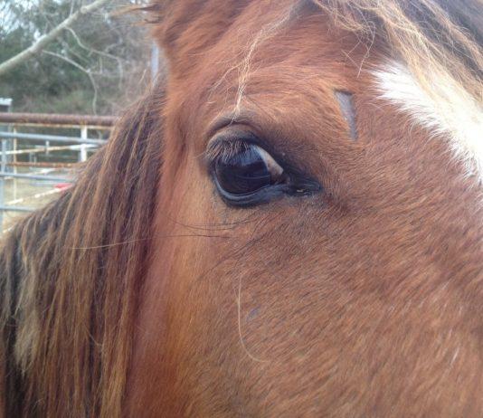 horse slaughtered, ocala news, ocala post