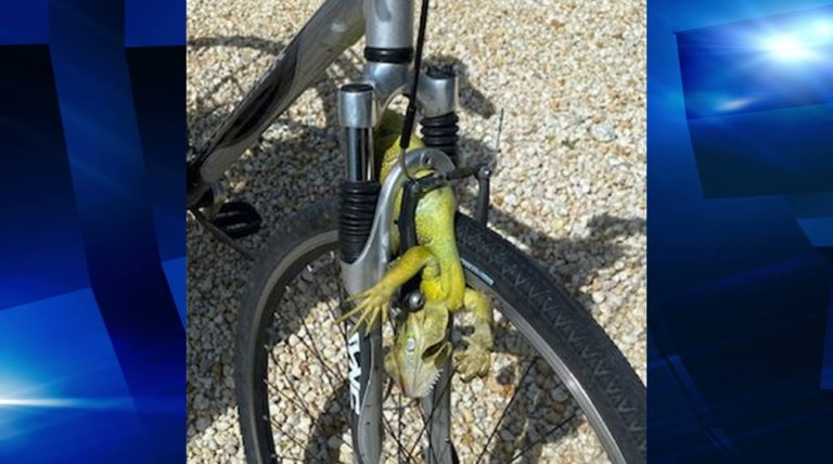 Iguana caused man to flip over bicycle handle bars