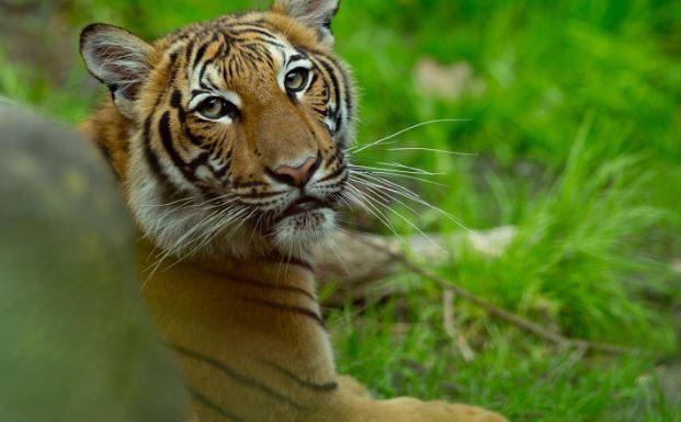 tiger, ocala news, ocala post,