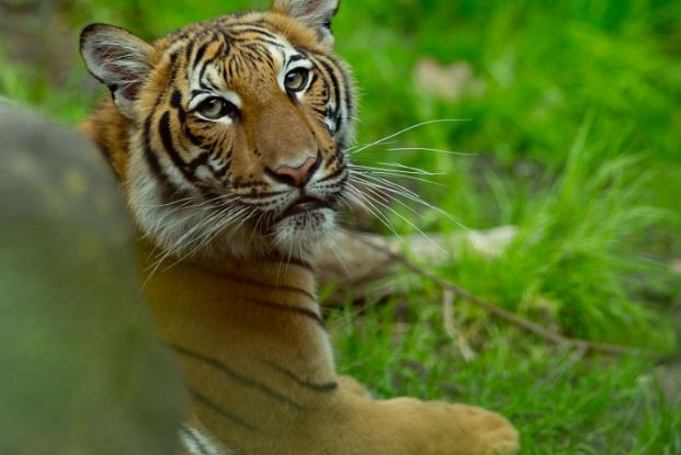 Man decapitated tiger, ate testicles