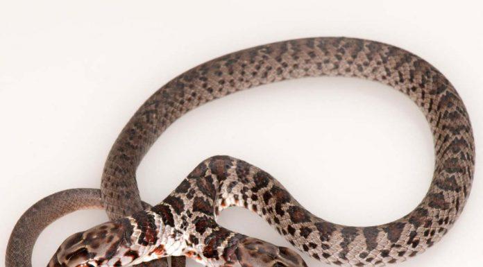 two-headed snake, ocala news, ocala post,