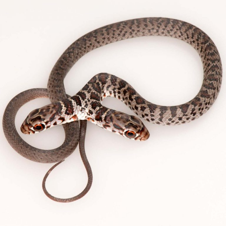 FWC: Florida family finds rare two-headed snake