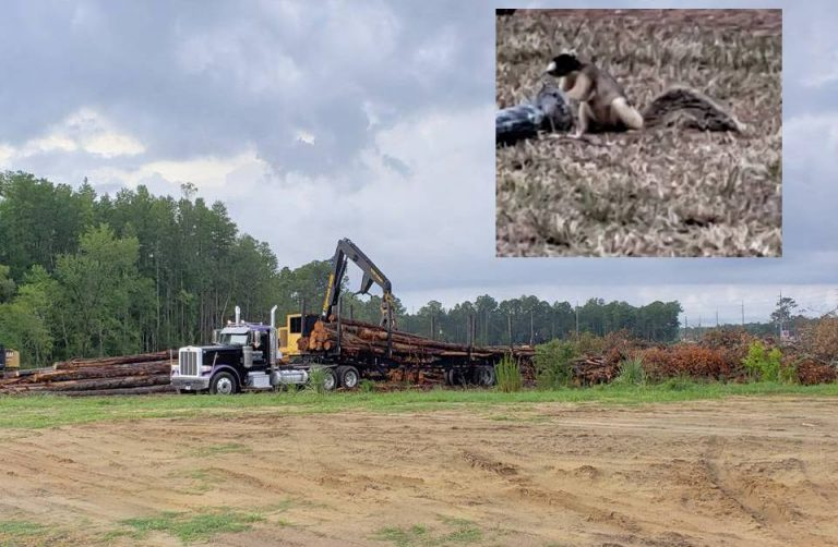 Southern fox squirrel habitats knowingly destroyed in Crystal River, residents furious