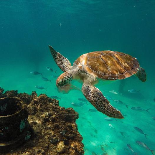 June 16 is World Sea Turtle Day, it's also nesting season